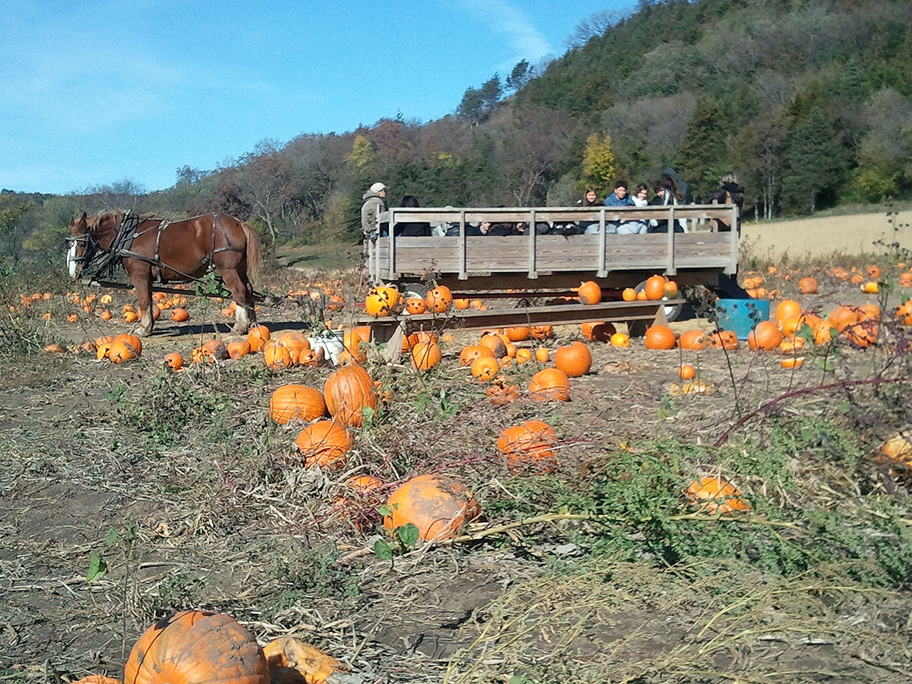 Lots of pumpkins left