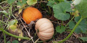 Pumpkins on the vine