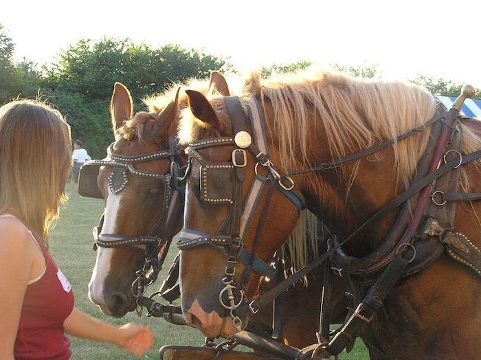 Girl petting draft horse team