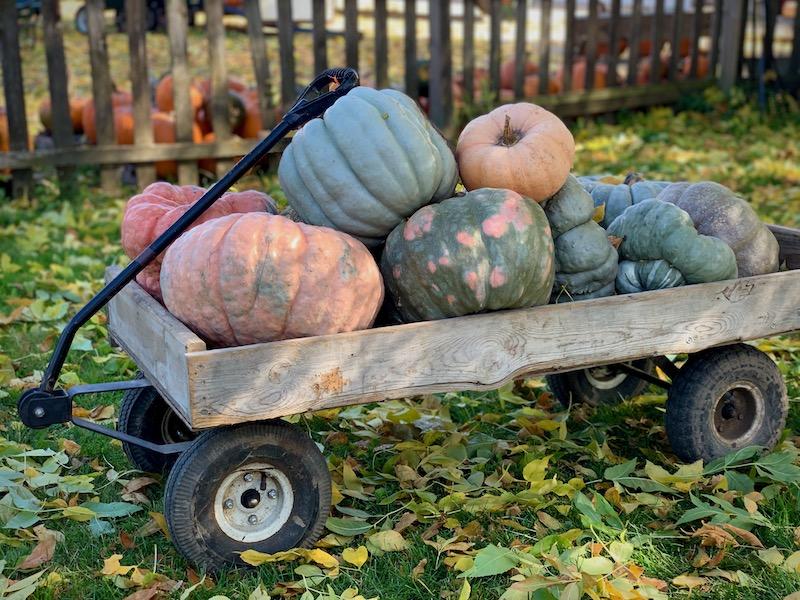 wagon of pretty pumpkins