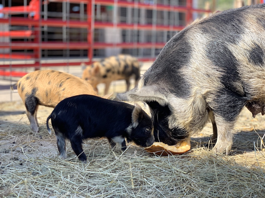 Baby pig and mother